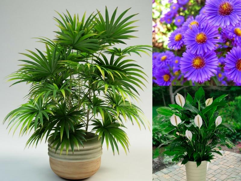 D Lady Palm Membantu Membersihkan Hawa Berbahan Kimia Tahan Serangga Serta Mudah Dijaga Potong Hujung Daunnya Yang Bertukar Menjadi Kelatan